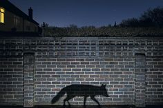 By concentrating only on the shadow, this urban fox photo gained recognition in both the European and Wildlife Photographer of the Year competitions (Nikon D810, 18-35mm, 30 sec at f/8, ISO 1,250, 1x flashgun)