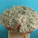 Gypsophila Beauty Bride is a small to medium size head, gypsophila and extremely popular in wedding flowers. Beauty Bride gypsophila is available in different stem lengths - the taller the stem length, the heavier the bunch Bride Flowers, Cut Flowers, Wedding Flowers, Florist Supplies, Gypsophila, Dream Wedding, Bridal, Floral, Plants