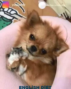 Newest Pic dogs and puppies chihuahua Thoughts Perform you adore your pet? Appropriate pet dog treatment along with coac Baby Animals Pictures, Cute Animal Pictures, Animals And Pets, Animal Pics, Funny Pictures, Cute Little Animals, Cute Funny Animals, Funny Dogs, Funny Chihuahua Pictures