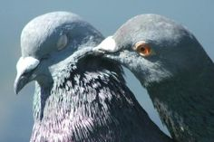 Do Birds Have Feelings?: Are these pigeons really in love?