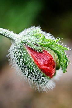poppy...