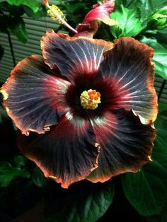 Giant Hibiscus Flower Seeds Hardy , 24 kinds, 24 Colors, DIY Home Garden potted or yard flower plant,bonsai flowers Dark Flowers, Unusual Flowers, Unusual Plants, Amazing Flowers, Beautiful Flowers, Big Flowers, Purple Flowers, Hibiscus Flowers, Tropical Flowers