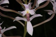 Orchid: Epidendrum elongatum