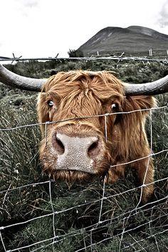 Scotish cow by @sevigadea