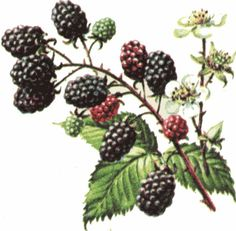 thinking about a bit of a memorial tattoo for my great grandmother who used to pick blackberries in her backyard. Dreamcatcher with blackberries and maybe some ghostly(softly drawn) butterflies