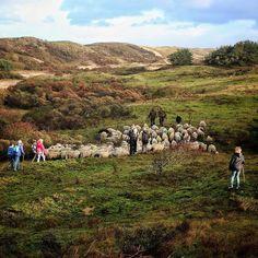 #Sheep an #shepherd on their way to #katwijk #Schapen met #Herder op weg naar #katwijk #HollandsDuin #staatsbosbeheer_featureme #bns_nature #bestnatureshot #instanetherlands #EarthCapture #igersholland #netherlands