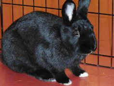 FLIPPER...PITTSBURGH, PA...HOP TO IT AND ADOPT FLIPPER!!9 MONTH OLD BLACK HAVANANICKNAME: FlipsENJOYS: Relaxing in my hut, hip hoppin' around exploring, and using my big ears to listen to your problems!PREFERS NOT TO: Be held - I need some time to warm up and am not used to...