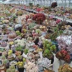 いいね!73件、コメント4件 ― Korea Succulent Plants Storeさん(@succulent_korea)のInstagramアカウント: 「청주다육 매장 청주다육 Cheongju succulent plants farm store #succulent #Echeveria #sedum #agavoides…」