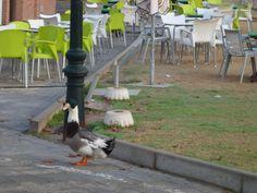 Patos en el PARQUE PARIS DE LAS ROZAS