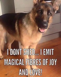 Funny Animal Pictures Of The Day 23 Pics - Funny Dog Quotes - Famous German Shepherd Quote: I don't shed I emit magical fibers of joy and love! The post Funny Animal Pictures Of The Day 23 Pics appeared first on Gag Dad. Funny Animal Memes, Dog Memes, Funny Animal Pictures, Funny Dogs, Funny Animals, Cute Animals, Funny Memes, Memes Humor, Hilarious