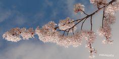 Sakura Blossoms @ University of Washington by Mitch Schreiber on 500px