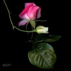 DESIGNER BUDS… Roses by Magda Indigo on 500px