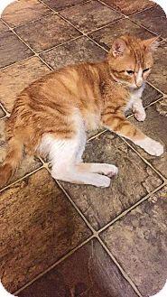 Fenton, MO - Domestic Shorthair. Meet Nugget, a cat for adoption. http://www.adoptapet.com/pet/15786008-fenton-missouri-cat
