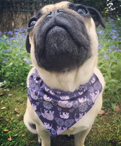 Can you tell I've been watching Next Top Model says Mabel.. I've nailed the smize don't ya think.. Head over to @frankypantsbowtique for more amazing bandanas & bow ties.. Their selection of fabrics are fabulous...  #monday #weeklyfluff #pugbasement #feature_do2#dogsofinstagram #pugmob #pugnation #zerozeropug #puglove #smilingpugs #pugrequest #flatnosedogsociety #TheTomCoteShow #pugsandkisses #puglife #insta_dogs #sendadogphoto  #pug #lacyandpaws #speakpug #pugsofinstagram #pugs…
