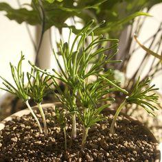 Eriospermum bowieanum