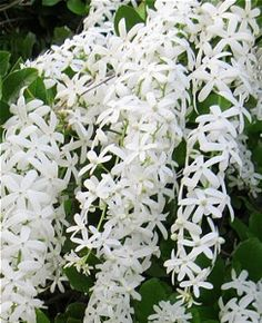 hard to find White Queens Wreath vine All Flowers, White Flowers, Beautiful Flowers, Silver Lace Vine, Volubilis, Seeds For Sale, Moon Garden, Flowering Vines, White Gardens