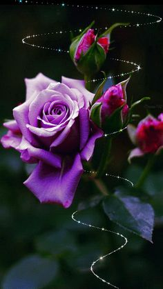 Purple Rose : The giver of the purple rose seeks to convey that he or she has fallen in love with the recipient at the very first sight. A deep magnetism and charm that makes the recipient almost irresistible is what the purple rose seeks to convey. My Flower, Pretty Flowers, Rose Fotografie, Rose Violette, Colorful Roses, All Things Purple, Purple Roses, Lavender Roses, Purple Rain