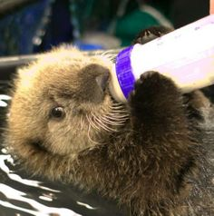 Baby Sea Otters   Baby sea otter enjoying a bottled meal. I want one!!!   Animals =]