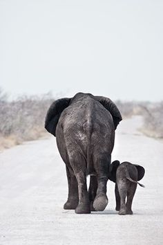 Mother and baby African elephants on the main road in Etosha National Park.