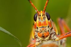 It's the time of year for Lubbers here's a close up look at one.  Lubber Grasshoppers have such cool patterns and colors changing from black and yellow when first hatched to this orange.  Shot with my trusty Tamron 180mm.  hahnnaturephotography #outdoorphotoworkshops  #withmytamron #tamronusa #grasshopper #bugs #macrophotography #naturephotography #wildlifephotography #alive_photo #bugface #nature #insect #macro #insects #instagood  #picoftheday #macromood #photooftheday #naturelovers…