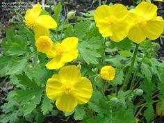 Celandine Poppy, Wood Poppy  Stylophorum diphyllum