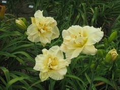 Snow Blizzard daylily. Mine is blooming right now. Lovely!