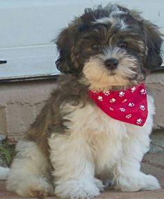 Shih Tzu / BIchon Frise hybrid, the Teddy Bear dog.
