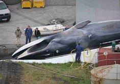 This Country Just Killed A Super Endangered Whale