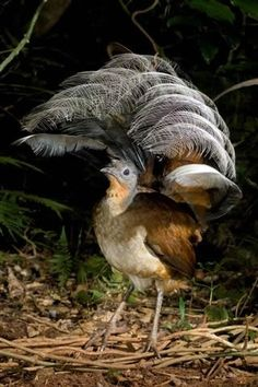 The Lyre Bird, Australia - can mimic almost any sound, even car alarms and camera shutters
