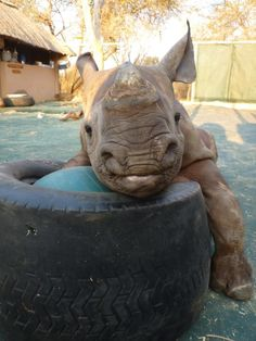 The Daily Cute: Rhinoceroseseseses! This baby is absolutely too flippin cute