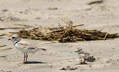 Piping plover - Wikipedia