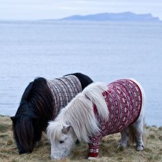 Shetland ponies in jumpers (aka sweaters for those of us across the pond).  Please Do Not Try This At Home from the wonderful shetlandponyeverything blog on posterous.