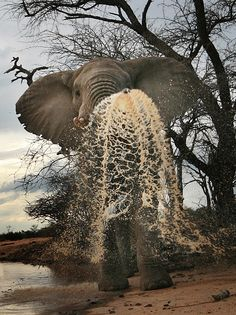 An elephant empties its trunk in Kenya John Hunt