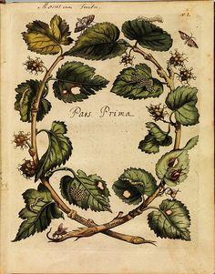 Erucarum ortus - Maria Sibylla Merian by peacay