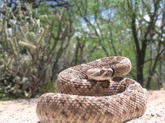 Diamond back rattlesnake.