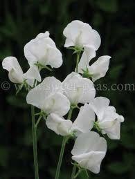 Flowers - SWEETPEA-WHITE 10 STEMS #