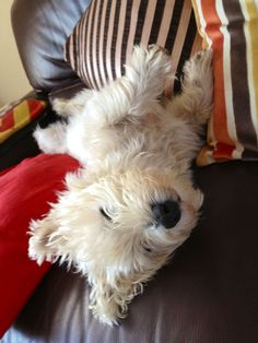 West highland terrier truffle my dog - How do they sleep like that with their head hanging off upside down?