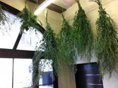 Les plantes d'absinthe, la tête en bas! Artemisia Absinthium, Absinthe, Deco, Aquarium, Gardens, Lawn, Plants, Stockings, Goldfish Bowl