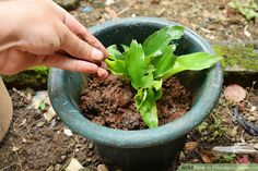How to Propagate Turmeric. Water tumeric {Curcuma longa} is propagated by root or rhizome cuttings and is easy to grow indoors and out! Turmeric is a tropical plant and needs temperatures between and as well as a considerable amount of.