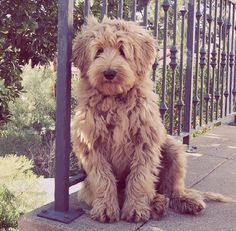 A beautiful goldendoodle- yes this is the dog for us.