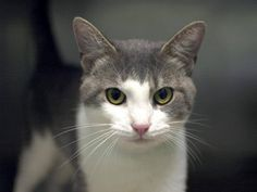 PULLED BY MAGNIFICAT CAT RESCUE AND REHOMING - TO BE DESTROYED 9/11/14 ** Marley was found as a stray and at the time fo the assessment he was displaying friendly behavior; interacts with the Assessor, solicits attention, is easy to handle and tolerates all petting. ** Brooklyn Center My name is MARLEY. My Animal ID # is A1012521. I am a male gray tabby and white domestic sh mix. The shelter thinks I am about 1 YEAR 1 MONTH old, STRAY