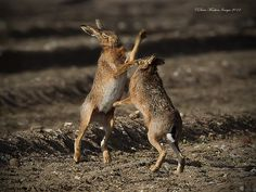 boxing hares | Boxing Hares