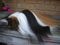 Once called the Angora, the Peruvian guinea pig breed has a coat several inches long that drags on the ground. The soft, dense hair grows from a center part down the guinea pig's back. The hair requires daily grooming.