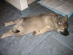 My Norwegian Elkhound pup - totally exhausted. Now I know why my Angel lays like this! lol