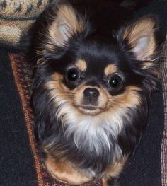 long hair Chihuahua, beautiful …this is exactly the baby I want