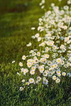 daisies. My absolute favorite flower in the world. Simple, elegant, beautiful.