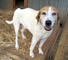 Tequila is an adoptable Treeing Walker Coonhound searching for a forever family near Palmyra, VA. Use Petfinder to find adoptable pets in your area.