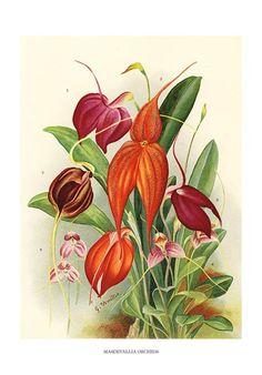 Botanical art print of Masdevallia orchids by John Wright