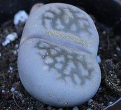 Succulent Plant - Stone Faces or Living Stones. $5.00, via Etsy.