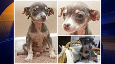 Chihuahua mix puppy found with severe injuries to his ears, stom - KTVU -